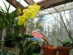 aurelias-orchid